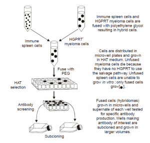 Production of Monoclonal Antibodies (MABs).