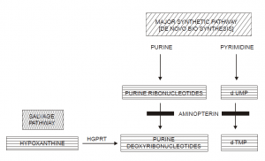 Aminopterin Works by Blocking the Reduction of Dihydrofolate (FH2) to Tetrahydrofolate (FH4).