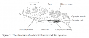 Synapse structure and function | Overview