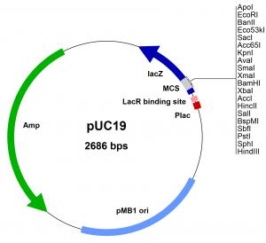 Cloning Vector (Plasmid)