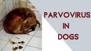 Dog Parvo (Parvovirus)
