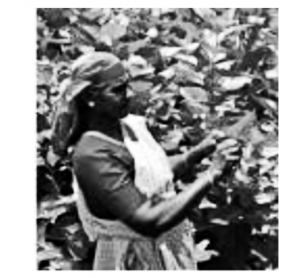 Harvesting of Mulberry