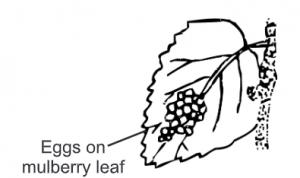 Eggs on leaves of B. mori