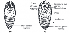 Male and Female pupae Bombyx mori