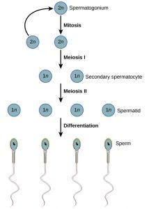 Spermatogenesis: Definition, Formation of Spermatids and Spermiogenesis