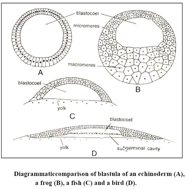 Blastulation: Definition, Types and Process of Bastulation in egg