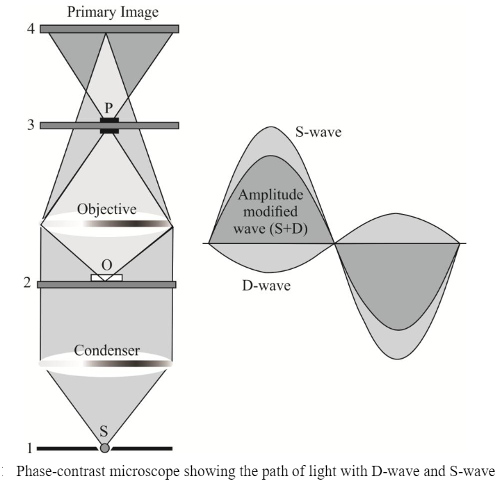 Phase contrast microscopy: Definition, principle, parts, uses