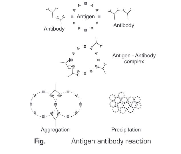Antigen Antibody Reactions