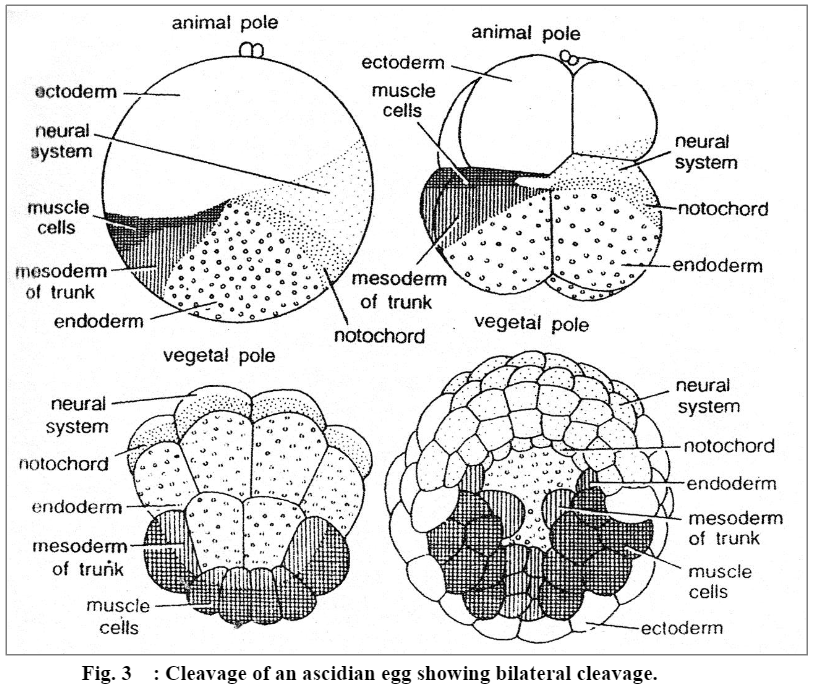 Cleavage: Definition, Charactertics and Patterns