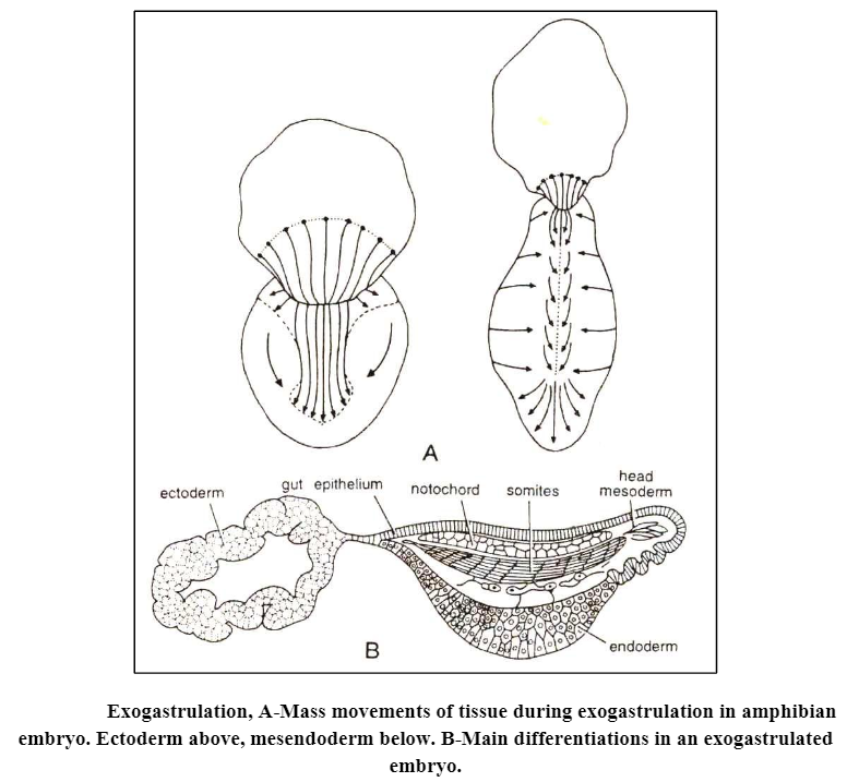 Gastrulation: Definition, Types and Process of Gastrulation in egg