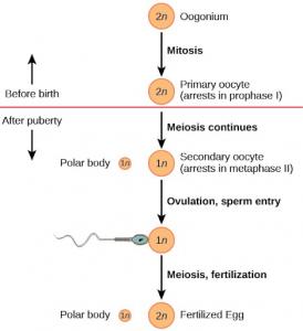 Oogenesis: Definition, Stages and Role of follicle and nurse cell in oogenesis