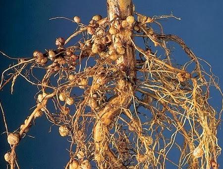 Microbial Interaction in Rhizosphere