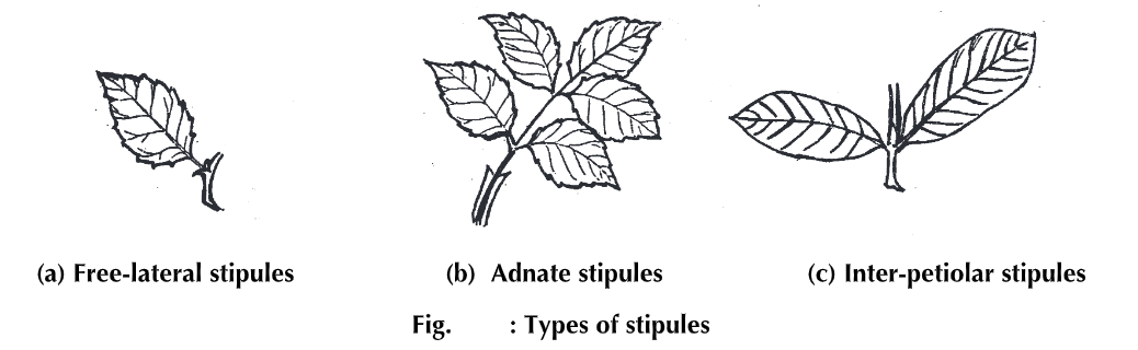 Leaf: Structure, Types, Parts and Modifications
