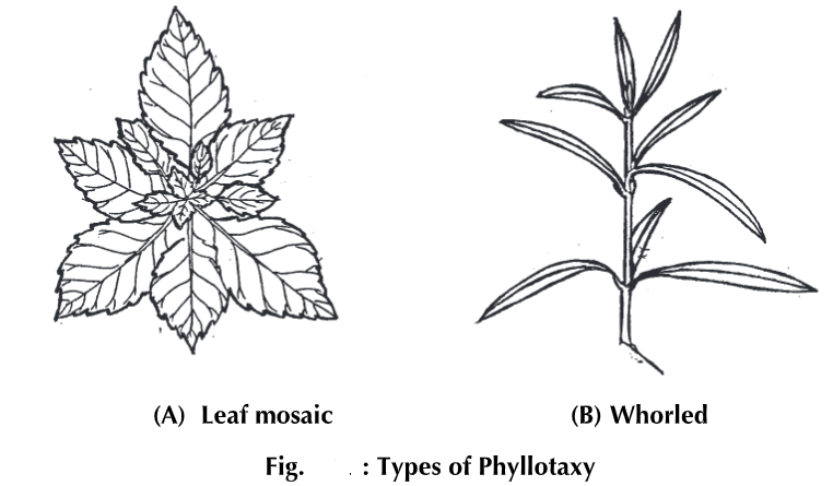 Morphology of Leaf - Structure Types Parts & Modifications