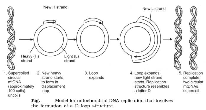 Mitochondrial DNA